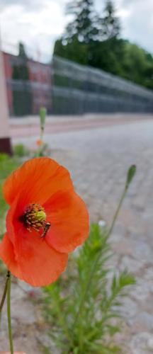Adam Matuszczak 'Wolnościowy kwiat'